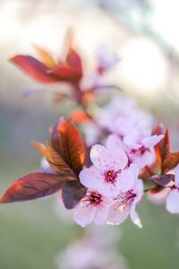 Zurich Cherry Blossoms