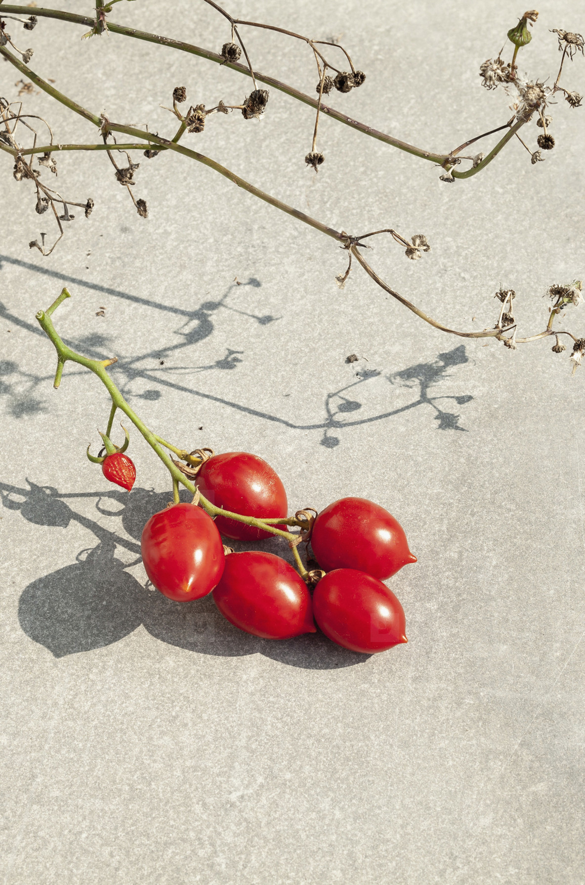 Ripe red tomatoes growing on vine