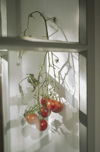 Tomatoes ripening on vine in window