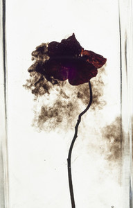 Studio shot flower in water on white background
