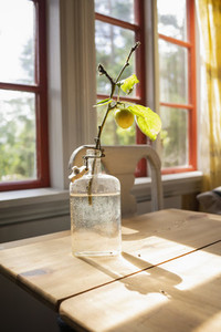 Yellow cherry plum growing on small branch in glass bottle