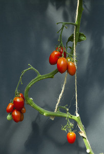 Red tomatoes ripening on vine