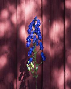 Vibrant blue delphinium against red fence