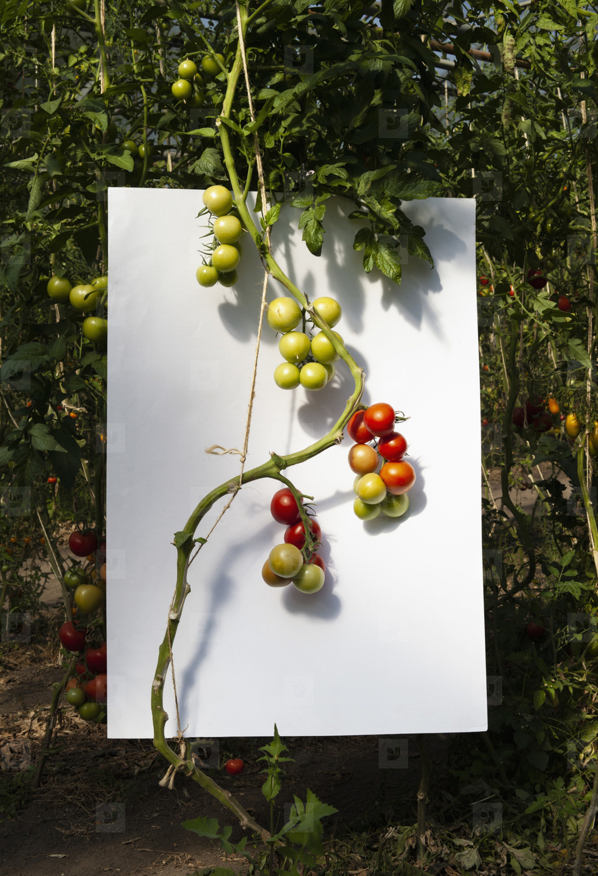 Ripening vine tomatoes against white background in garden