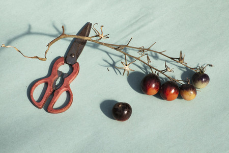 Scissors and purple vine tomatoes