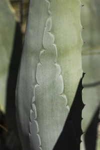Close up pattern on green cactus leaf