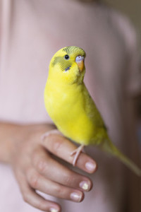 Close up bright yellow Budgerigar parakeet perched on hand of girl