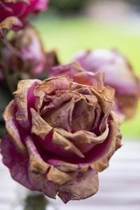 Close up decaying pink rose