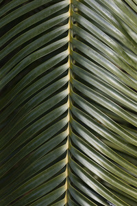 Close up green palm leaf
