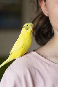 Bright yellow Budgerigar parakeet perched on shoulder of girl