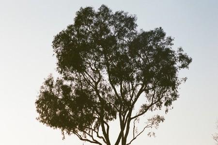 Eucalyptus Tree at Sunset   Film