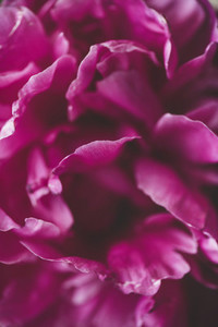 Close up of purple peony flower Floral wallpaper