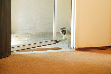 Monkey opening a door