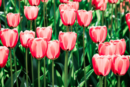 Full frame pink tulips spring background in a garden The concept of bloom and Srping