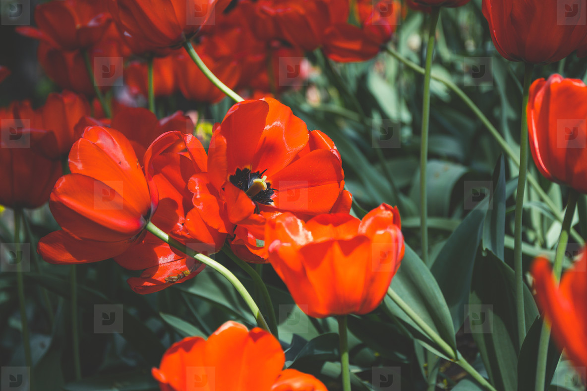 Red tulips spring background  The concept of bloom and Srping