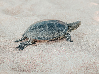 Beautiful small turtle crawling on the sand near the sea