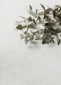 Eucalyptus branch over white background
