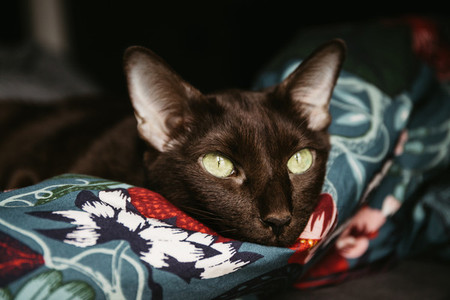 Domestic oriental breed brown cat with green eyes relax es on a floral blanket