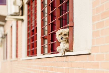 Little dog Looking Out a Window in the time of confinement due to the Covid 19 pandemic