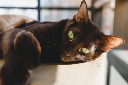 Oriental breeds brown cat relaxes on a cardboard box under sunlight