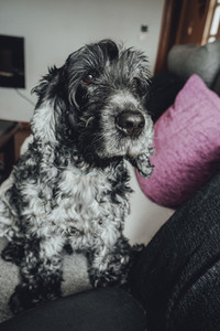 Beautiful portrait of a black and white cocker spaniel