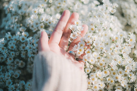 Hand touch white daisy