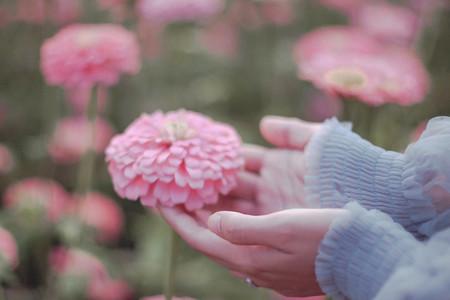 Hand touches Gerbera flower
