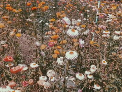 Straw Flower field