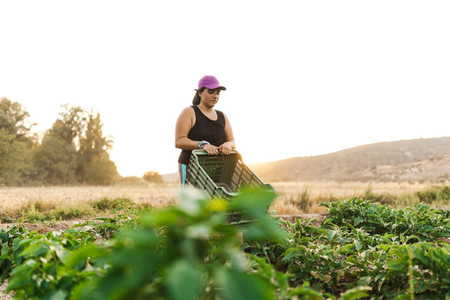 Farmer woman harvesting in the field with a box