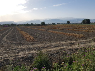 Garlic field in Granada with Sierra Nevada in the background