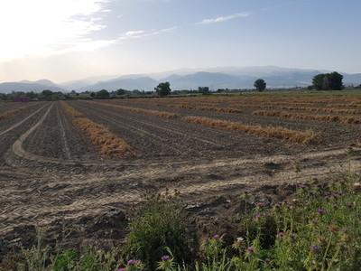 Garlic field in Granada with Sierra Nevada in the background