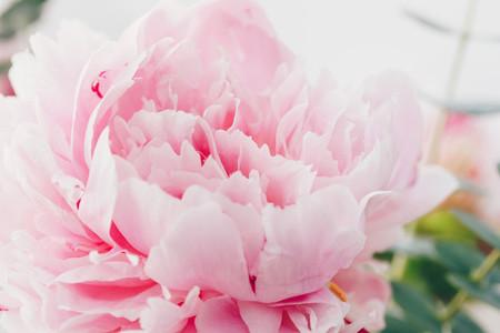 Macro photography of pink peony  Nature background