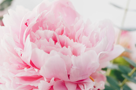 Macro photography of pink peony Nature background