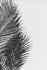 Summer abstract black and white photography of palm leaf and shadow of it over white wall
