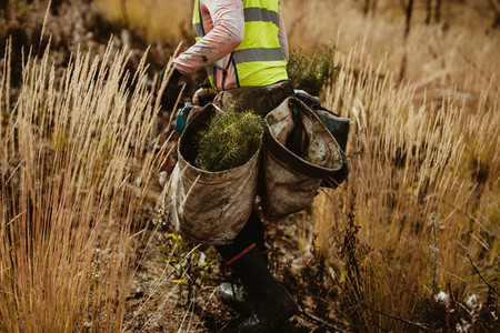 Forester with bag full of pine seedlings