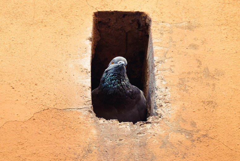 The portrait of city pigeon in the window of an old yellow stone house