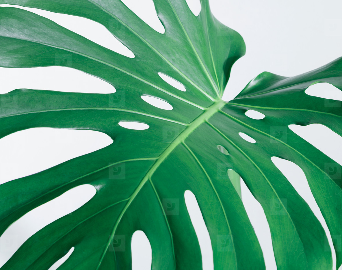 Close up of the monstera leaf  Abstract composition