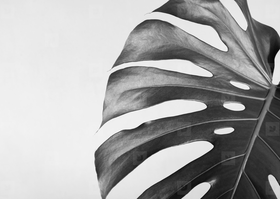 Close up of the monstera leaf  Abstract composition  Black and white photography