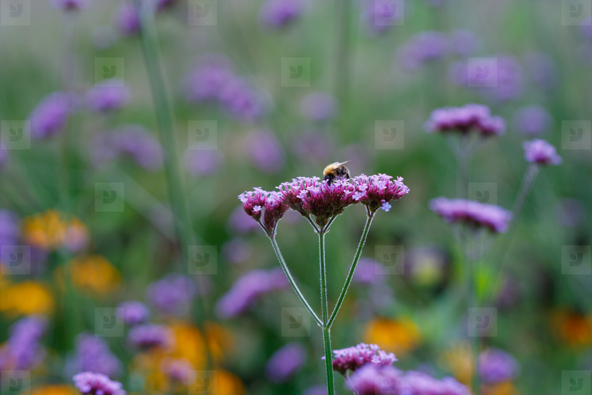 Bee on a green meadow collects honey from a purple flower