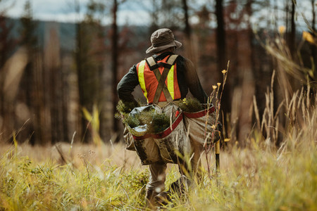 Forester with pine seedlings for reforestation
