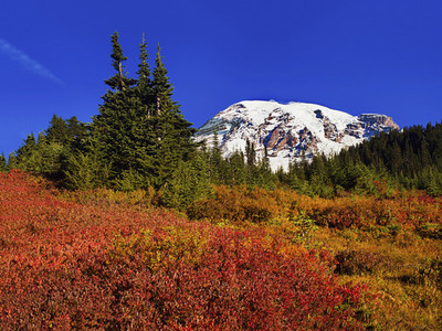 Trees and vibrant foliage below Mount Rainier