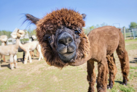 Cute and curious alpaca on sunny farm