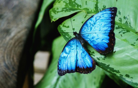 Close up vibrant blue butterfly on green leaf