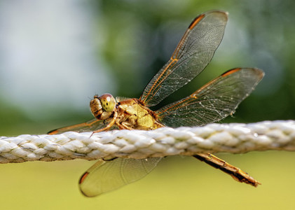 Extreme close up dragonfly perched on rope