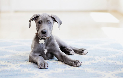 Portrait cute gray Great Dane puppy on rug