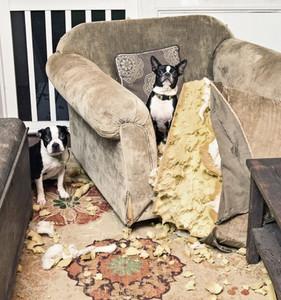 Portrait mischievous Boston Terriers caught chewing furniture cushion
