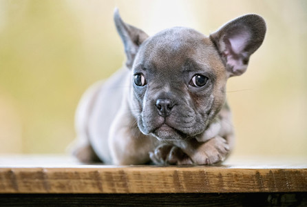 Portrait cute French Bulldog puppy