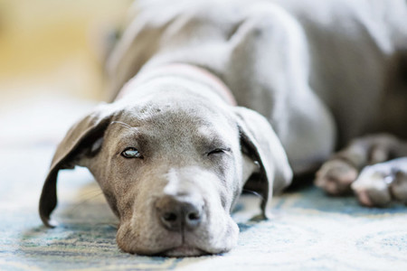 Portrait tired gray Great Dane puppy falling asleep on rug