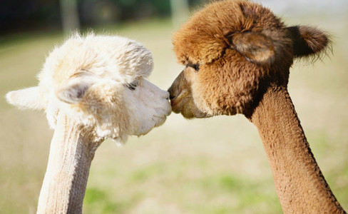 Cute alpacas kissing