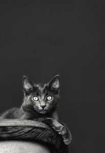 Portrait wide eyed Chartreux cat